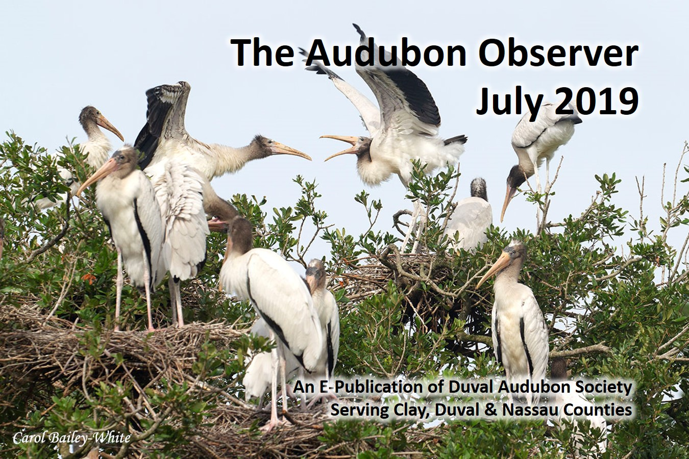 Squabbling Wood Stork Chicks at Jacksonville Zoo