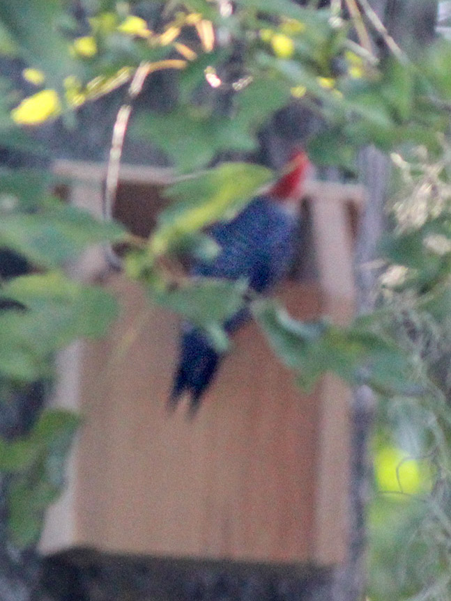 202106 Red bellied Woodpecker at nest box 20200723 by Carolyn Antman