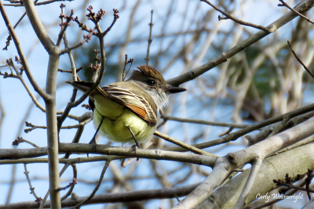 Ash throated Flycatcher watermark Carly Wainwright 202012 crop