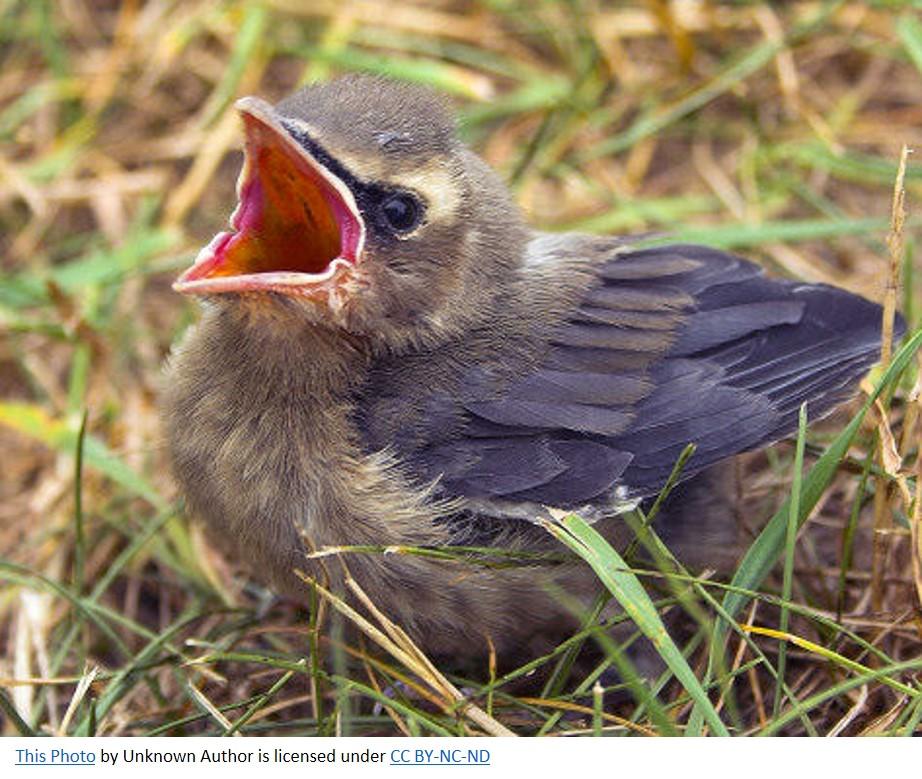 Baby bird Creative Commons