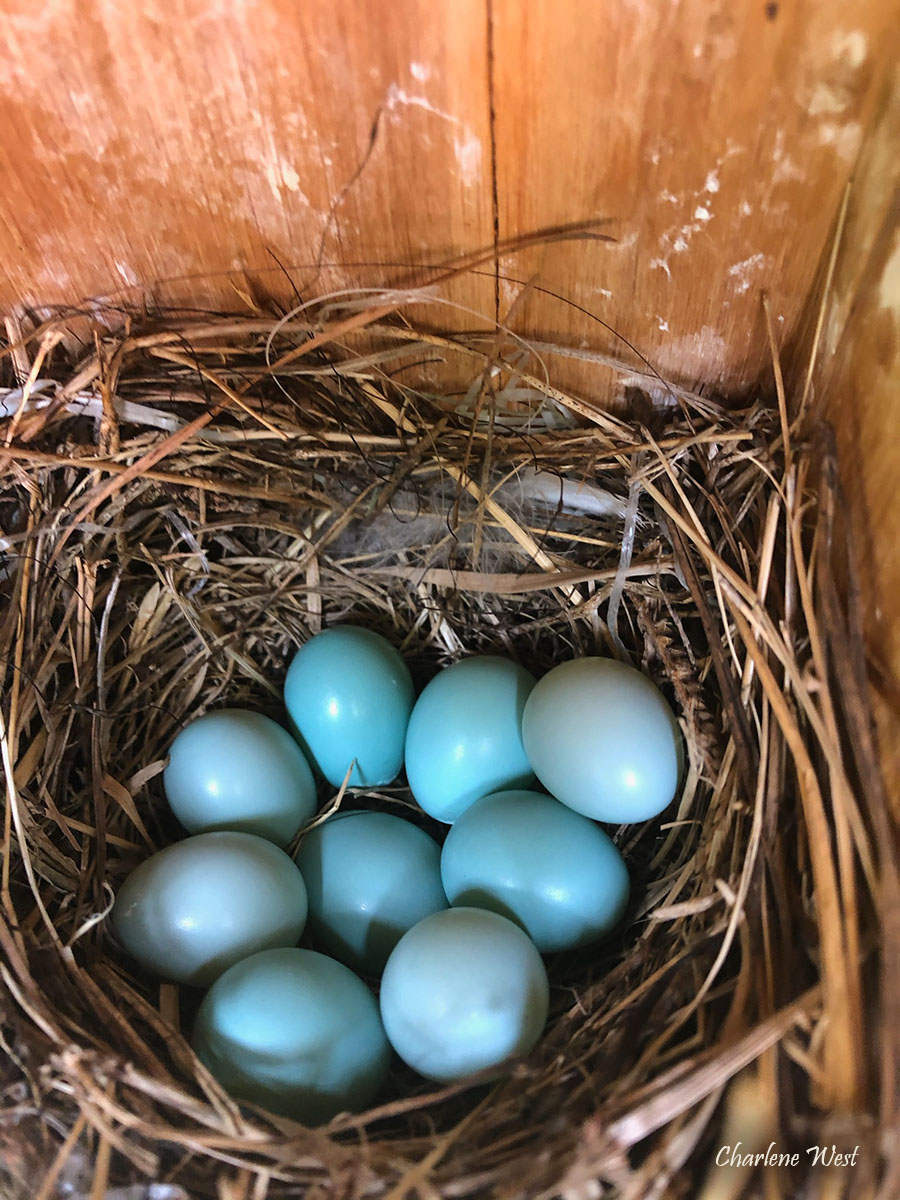 Photo of Eastern Bluebird eggs by Charlene West May 2020