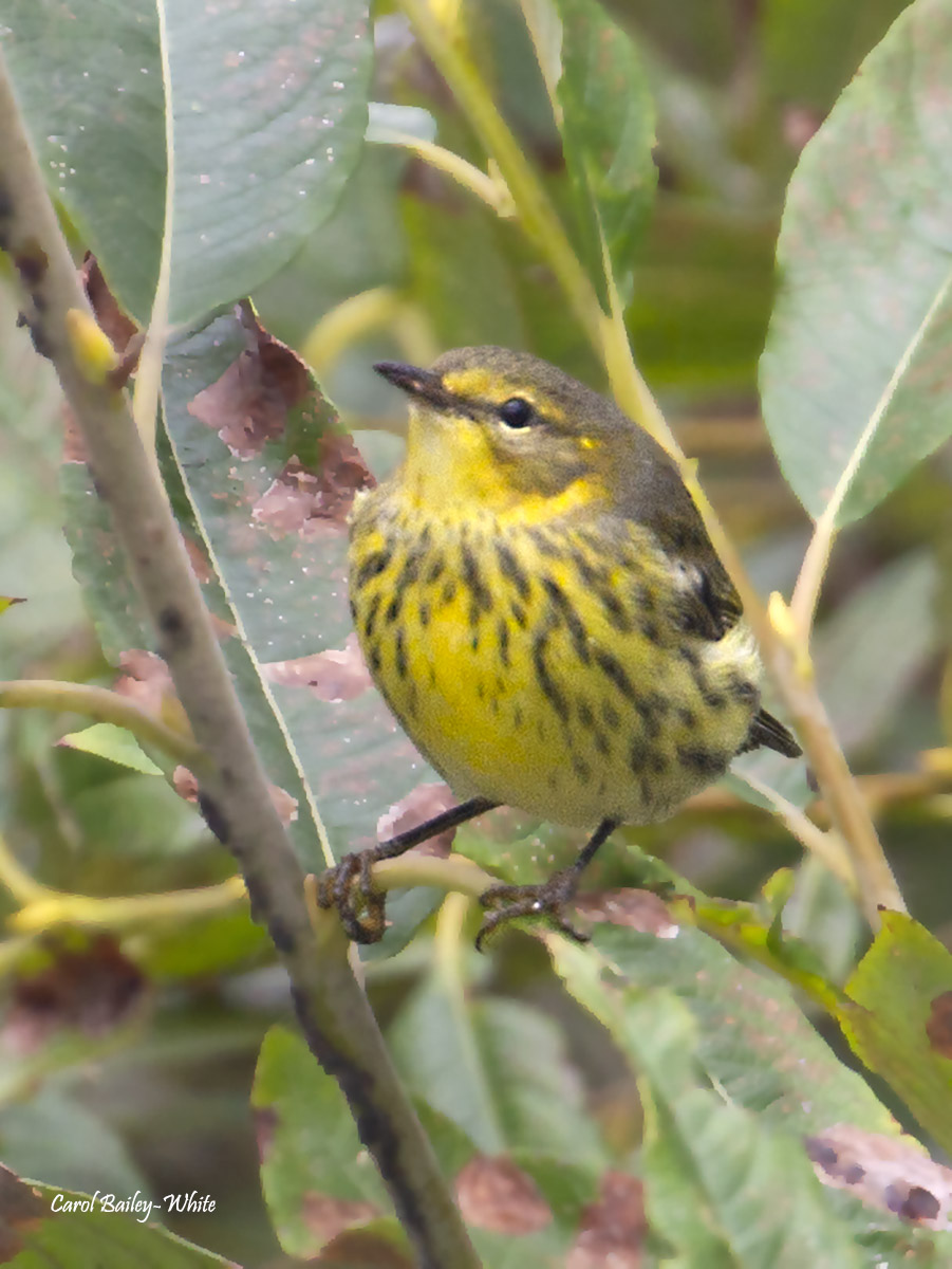Cape May Warbler watermark CBW 20190917 7DC 6947