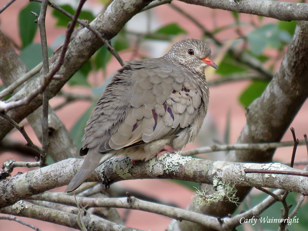 Common Ground Dove Penny Farms 20191221 CarlyW