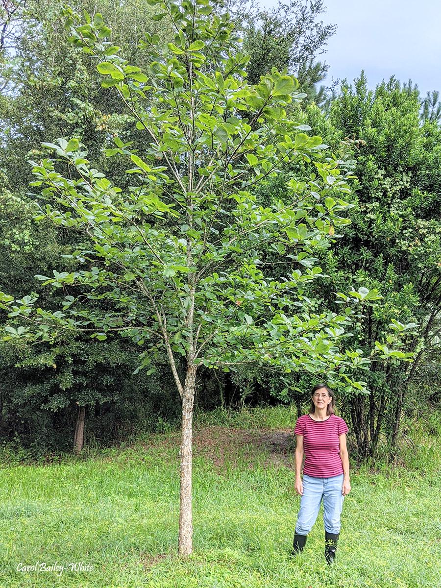 Crosby Swamp Chestnut Oak IMG 20200823 084516