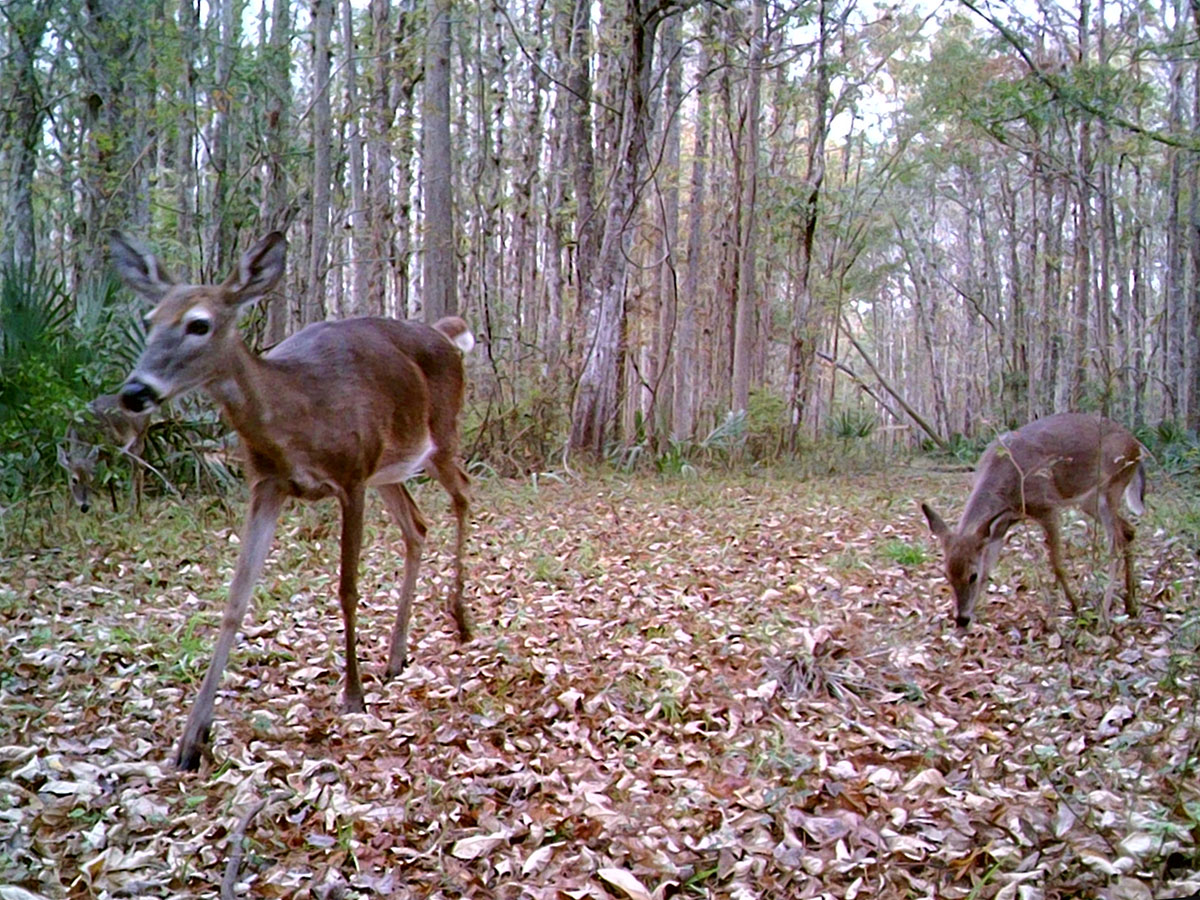 Deer Family Trailcam1 20191209