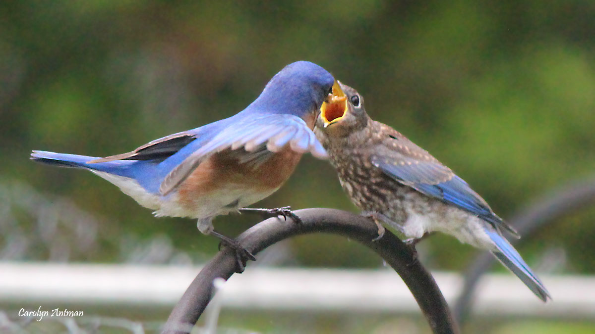 Eastern Bluebird with fledgling watermark Carolyn Antman 20200412