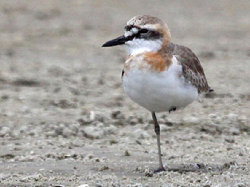 Greater Sand Plover by Roger Clark