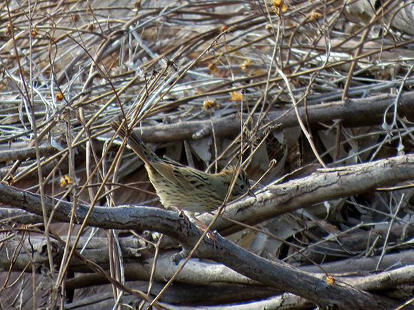 Lincolns Sparrow Wainwright StAugustine