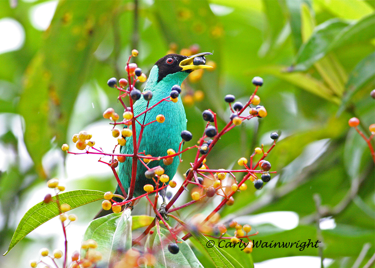 Male Green Honeycreeper Wainwright