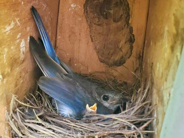 Northside Bluebird Trail Parent with Nestling 202007