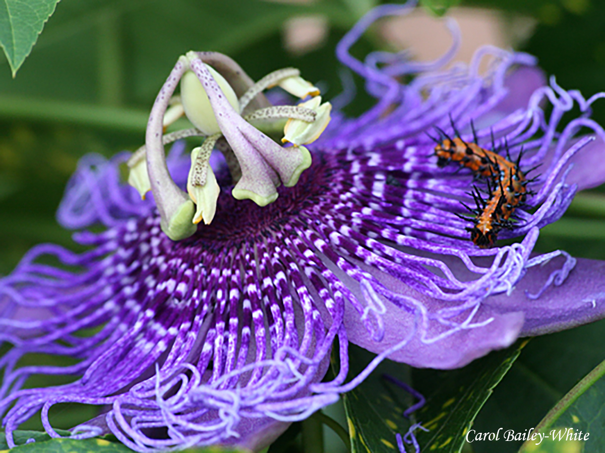 Passion Flower by Carol Bailey-White
