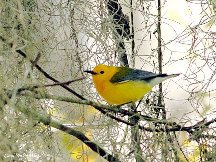 Prothonotary Warbler by Carol Bailey-White