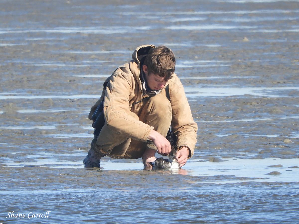 Red breasted Merganser Rescue 20200105 Shane Carroll DSCN9426