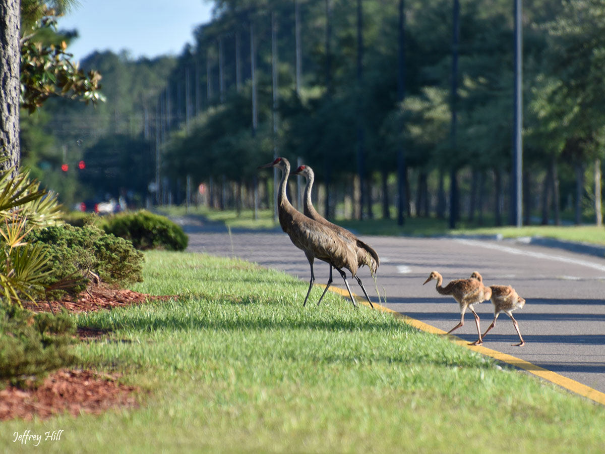 Photo of Sandhill Crane family crossing New World Avenue by Jeffrey Hill