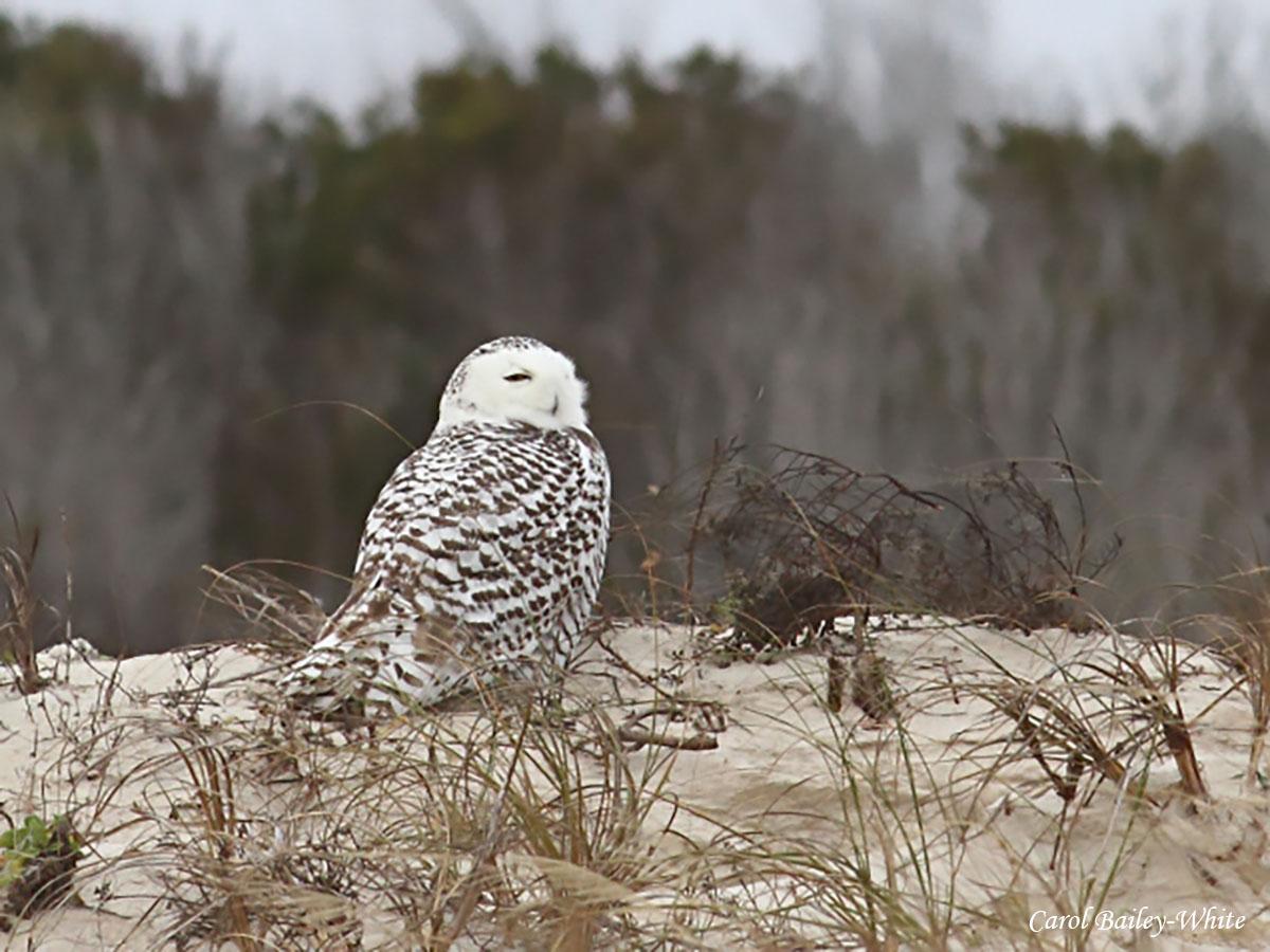 Snowy Owl at LTI watermark CBW 20131228