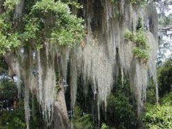 Spanish Moss unknown author