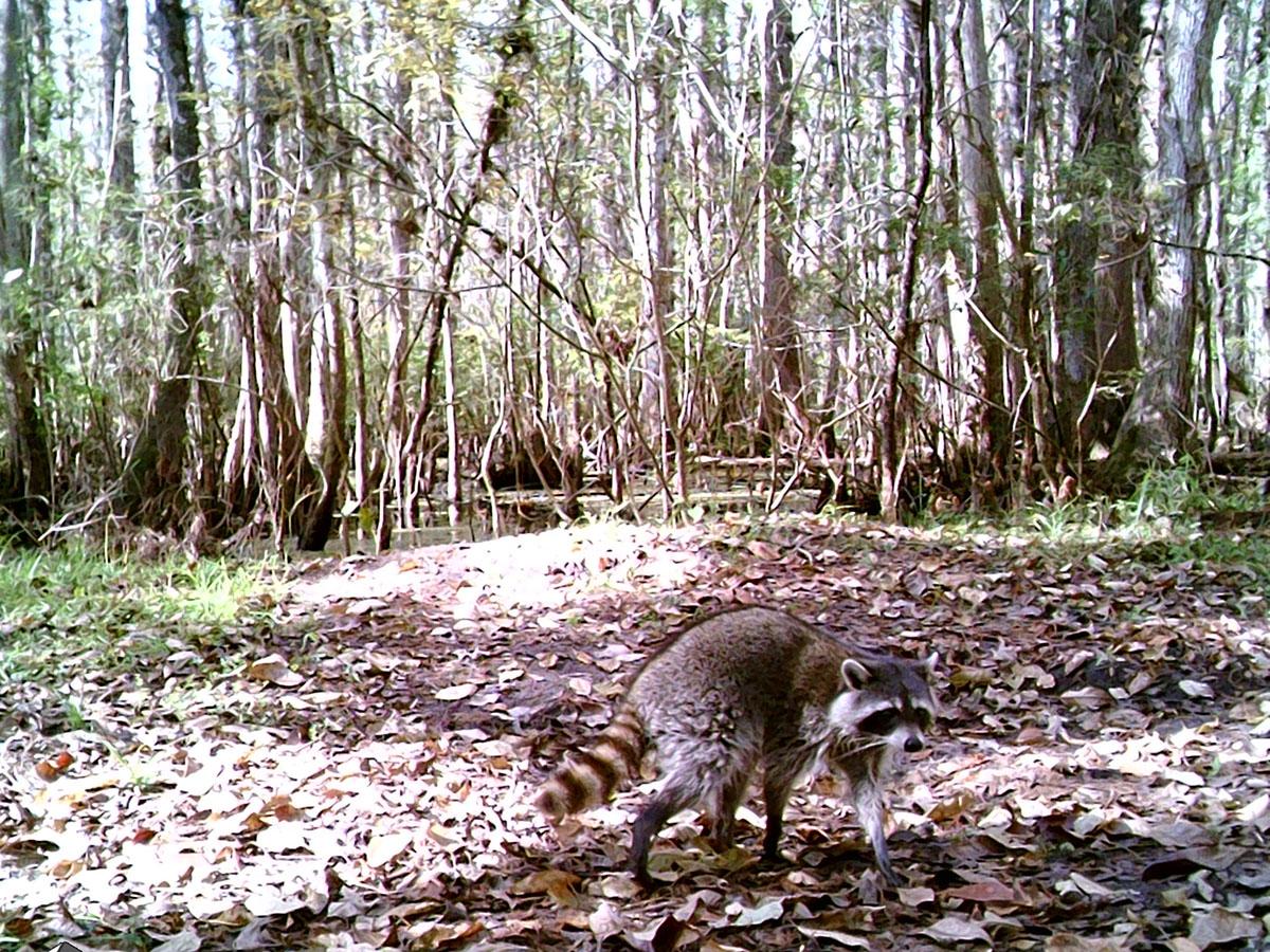 Trailcam 1 Raccoon 20191127 STC 0128