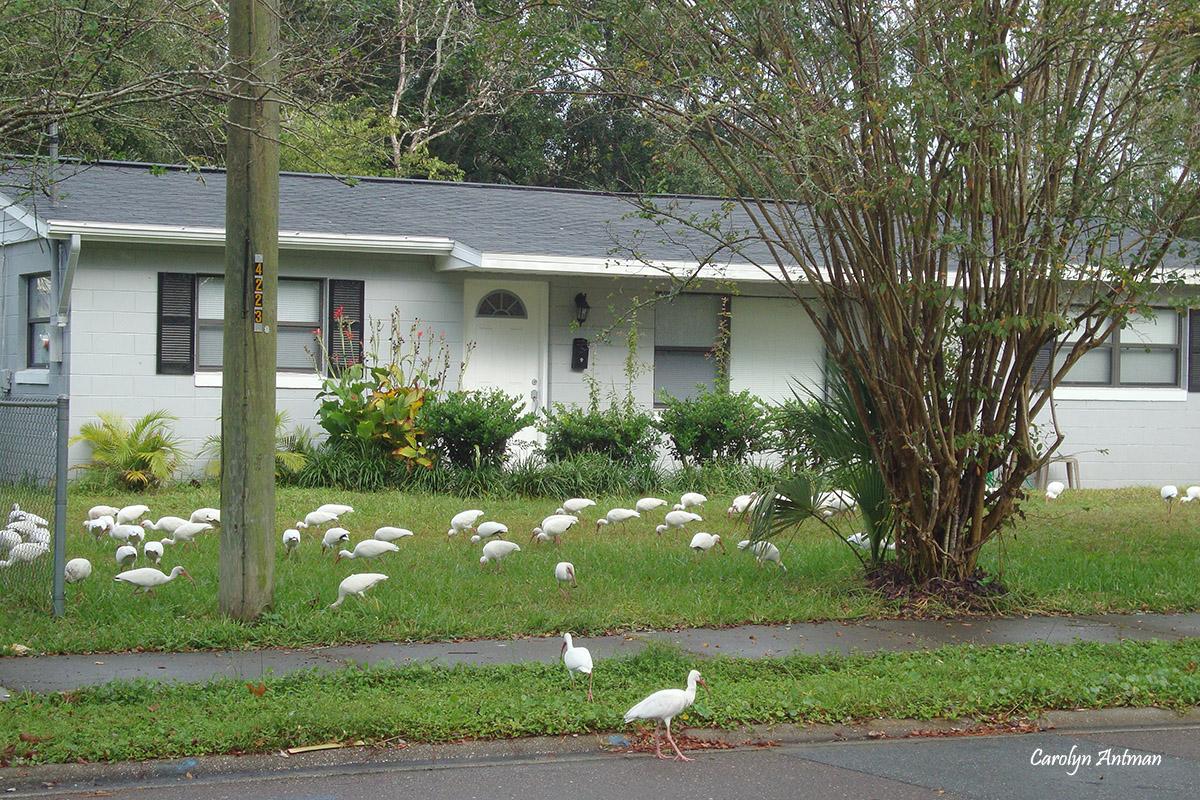 White Ibis watermark Carolyn Antman