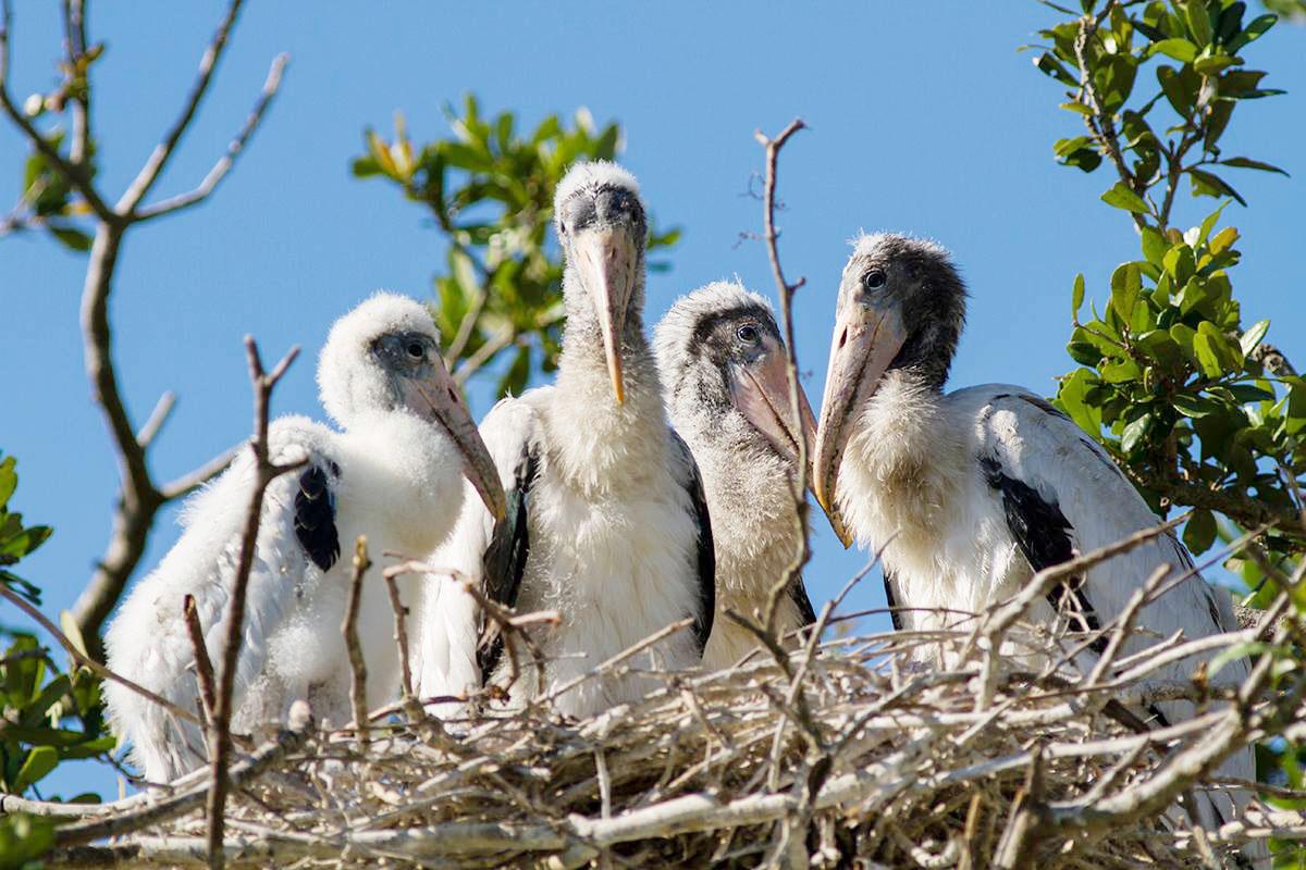 Wood Stork chicks Carlyw