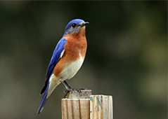 Eastern Bluebird by Carly Wainwright
